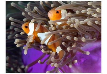 Fototapeta - Błazenki – ryby klowny
