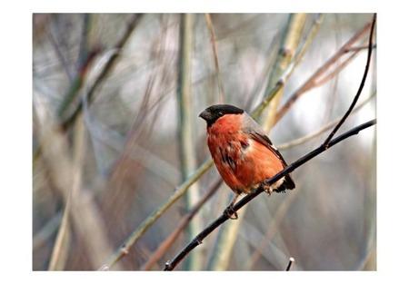 Fototapeta - Gil pomarańczowy na gałązce