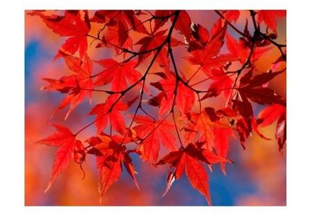 Fototapeta - Red japanese maple